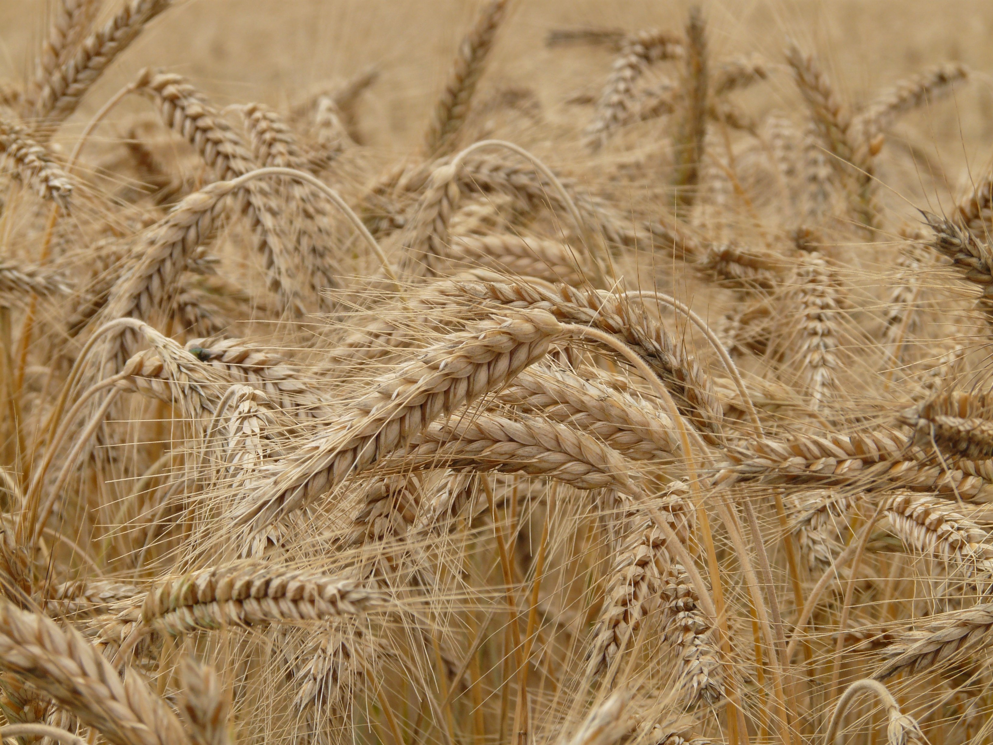 Gluten Intolerance is on the rise